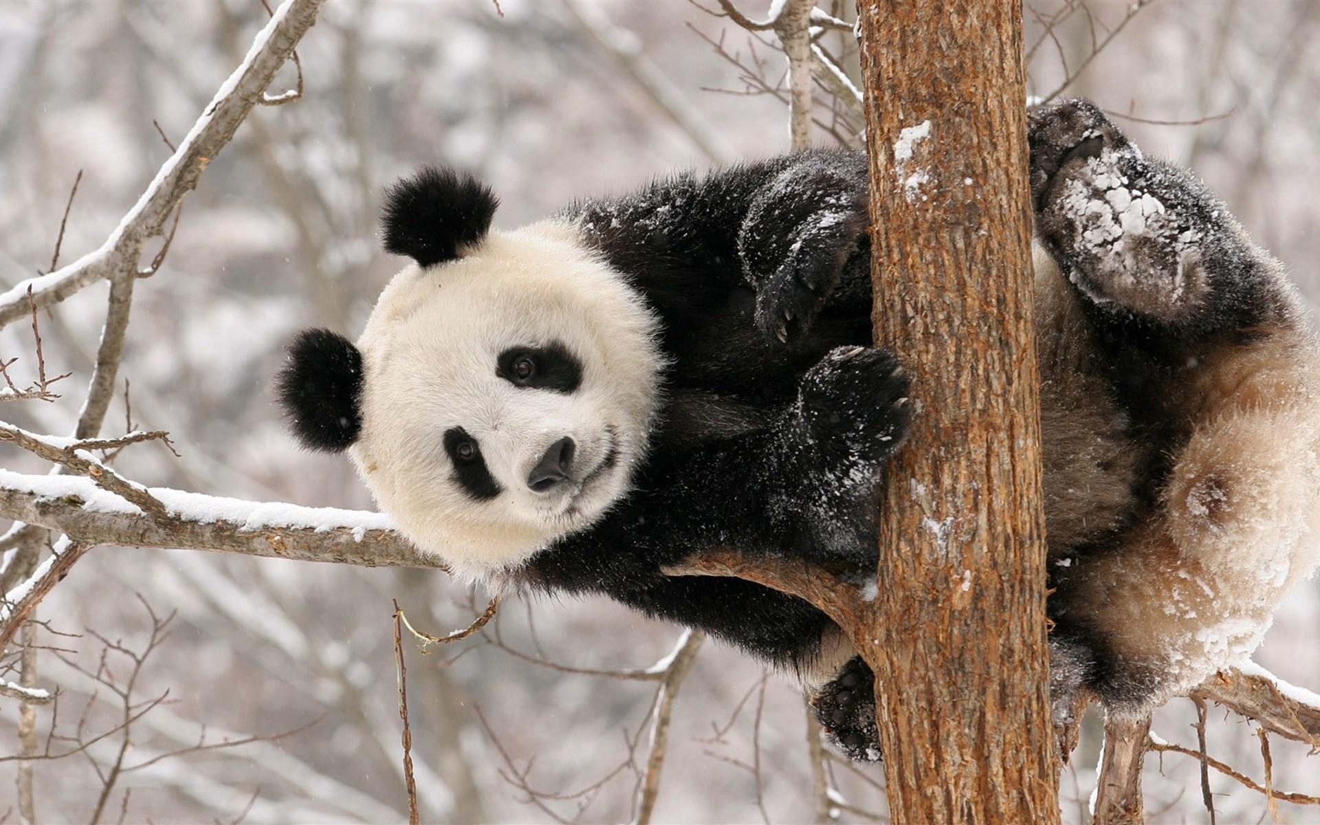 豆豆系统 美化 桌面壁纸 > 国际熊猫节萌萌可爱熊猫电脑壁纸