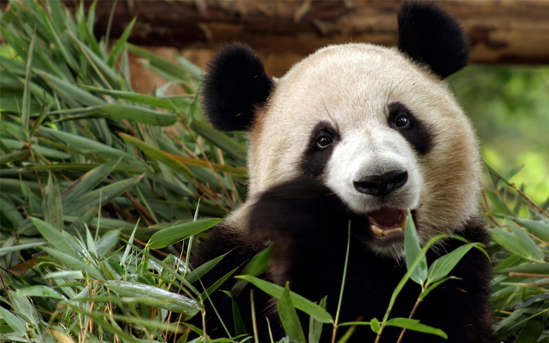> 国际熊猫节萌萌可爱熊猫电脑壁纸